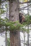 Amerikanischer Schwarzbär, der einen Baum klettert lizenzfreies stockbild