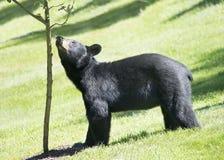 Amerikanischer Schwarzbär schaut oben einen Baum stockbild