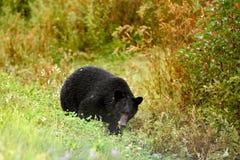 Amerikanischer Schwarzbär u. x28; Ursus americanus& x29; Stockbild