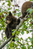 Amerikanischer Schwarzbär CUB (Ursus americanus) Stockfotografie