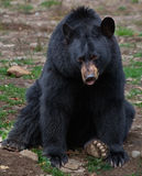 Amerikanischer schwarzer Bär Stockbilder