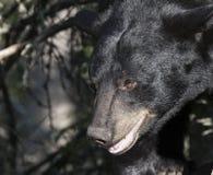 Amerikanischer schwarzer Bär Lizenzfreies Stockfoto