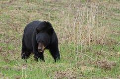 Amerikanischer schwarzer Bär Stockbild
