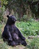 Amerikanischer schwarzer Bär, der oben sitzt Stockbild