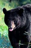 Amerikanischer schwarzer Bär (Ursus americanus) Stockfoto