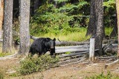 Amerikanischer schwarzer Bär (Ursus americanus) Lizenzfreie Stockfotografie