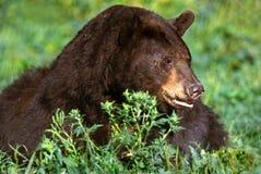 Amerikanischer schwarzer Bär; Zimt (Ursus americanus) Stockfotografie