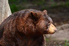 Amerikanischer schwarzer Bär (Ursus americanus) Stockbilder
