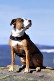Amerikanischer stafford Hund Stockfoto