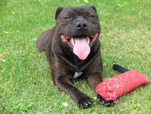 Amerikanischer Staffordshire-Terrier 1/2 Lizenzfreies Stockbild