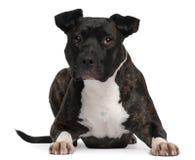Amerikanischer Staffordshire-Terrier, 2 Jahre alt Stockbild