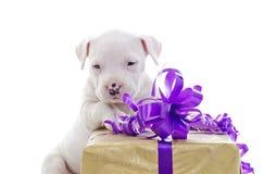 Amerikanischer Staffordshire-Terrier stockfotografie