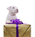 Amerikanischer Staffordshire-Terrier stockbilder