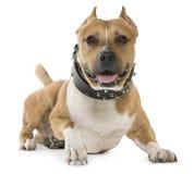 Amerikanischer Staffordshire-Terrier, 5 Jahre alt, liegend Stockfoto