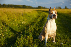 Amerikanischer Staffordshire-Terrier Lizenzfreies Stockbild