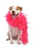 Amerikanischer Staffordshire-Terrier, der eine Boa trägt Stockfotografie