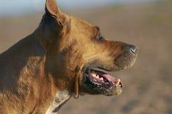 Amerikanischer Staffordshire-Terrier-Hund Lizenzfreies Stockfoto
