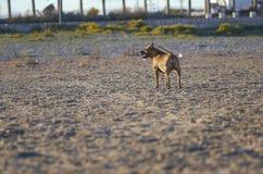 Amerikanischer Staffordshire-Terrier-Hund Lizenzfreie Stockbilder