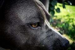 Amerikanischer Staffordshire-Terrier-Hund stockfotos