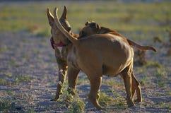 Amerikanischer Staffordshire-Terrier Zwei Hunde, die auf dem Strand spielen Stockbild