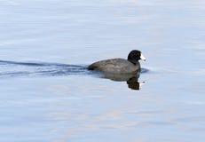 Amerikanischer Tölpel in Hauser See. stockbild