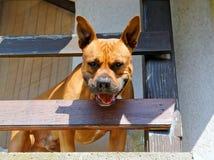 Amerikanischer Terrier Staffordshire-Bull Stockfotos