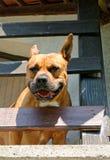 Amerikanischer Terrier Staffordshire-Bull lizenzfreies stockbild
