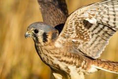 Amerikanischer Turmfalke-Falke in Autumn Setting Lizenzfreie Stockfotografie