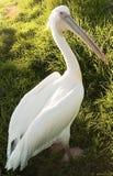 Amerikanischer weißer Pelikan Stockfotografie
