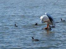 Amerikanischer weißer Pelikan Stockbild
