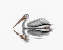 Amerikanischer weißer Pelikan lizenzfreie stockfotos