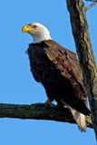 Amerikanischer Weißkopfseeadler Stockbilder