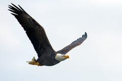 Amerikanischer Weißkopfseeadler im Flug mit Fischen Lizenzfreies Stockfoto