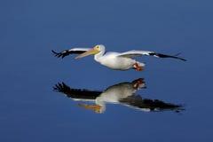 Amerikanischer weißer Pelikan, Pelecanus erythrorhynchos Lizenzfreies Stockbild