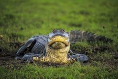 Amerikanischer wilder Alligator Stockfotos