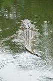 Amerikanisches Alligatorschwimmen Stockbilder