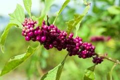Amerikanisches Beautyberry stockfotografie
