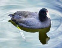 Amerikanisches Blässhuhn-Ente Stockbild
