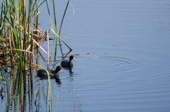 Amerikanisches Blässhuhn-Paare, Savannah National Wildlife Refuge Lizenzfreie Stockbilder