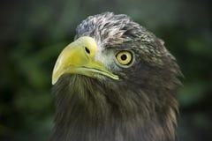 Amerikanisches braunes Adlergesicht Eagle, das auf Opfer anstarrt Symbol von morgens Lizenzfreie Stockfotos