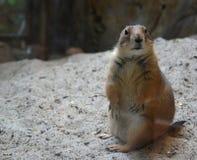 Amerikanisches Eichhörnchen in einem Zoo Stockfotos