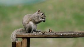 Amerikanisches Eichhörnchen - Tamiasciurus hudsonicus, sitzend im Park und in der Fütterung Lizenzfreie Stockfotografie
