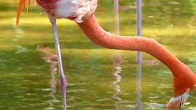 Amerikanisches Flamingo Phoenicopterus-ruber stock video