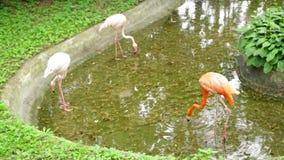 Amerikanisches Flamingo Phoenicopterus-ruber, das in Wasserpool geht stock video