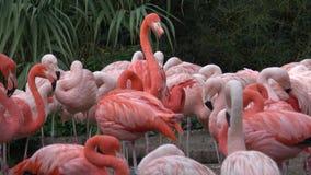 Amerikanisches Flamingo Phoenicopterus-ruber Flamingos oder Flamingos stock video footage