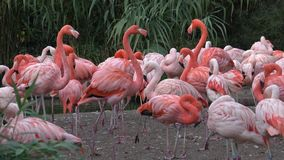 Amerikanisches Flamingo Phoenicopterus-ruber Flamingos oder Flamingos stock video