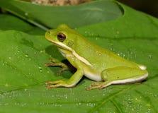 Amerikanisches grünes treefrog Lizenzfreies Stockfoto