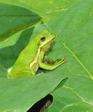 Amerikanisches grünes treefrog Lizenzfreie Stockbilder