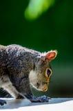 Amerikanisches graues Eichhörnchen stockbilder