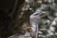 Amerikanisches kahler Adler-Portrait Lizenzfreie Stockfotografie